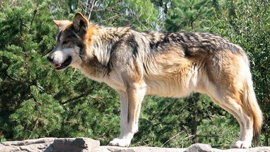 El Gobierno inicia el trámite de información pública del Plan de Gestión del Lobo