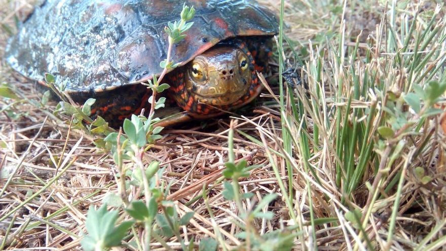 Un ejemplar de Mauremys leprosa, una de las especies de tortuga acuática ibérica