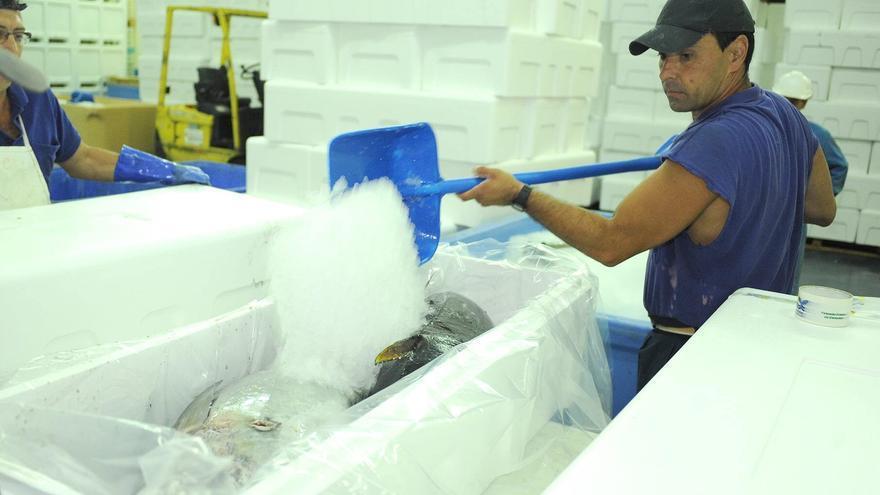Preparación de atunes para su comercialización en fresco, en Santa Cruz