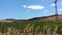 El cannabis destruye el ecosistema vital del Rif marroquí