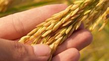 El cultivo de la cebada cervecera crecerá en 35.000 hectáreas en la región