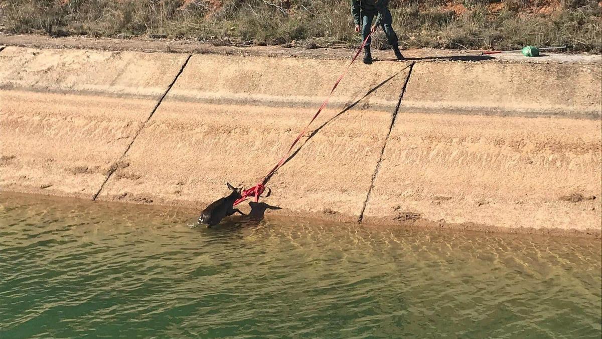Rescate de un corzo en el canal del Trasvase Tajo-Segura