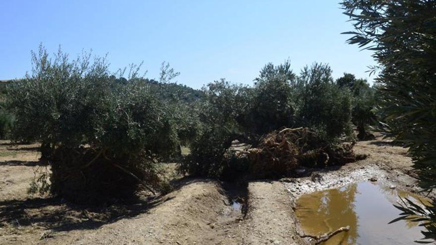 Daños en olivar
