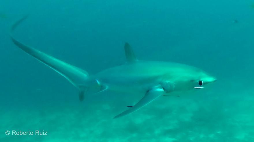 El tiburón zorro no es fácil de encontrar, pero Malapascua es uno de los mejores lugares del mundo para verlos.