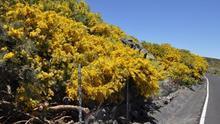 Retamones en flor cerca del Pico de la Cruz (Fotos: ÁNGEL PALOMARES)