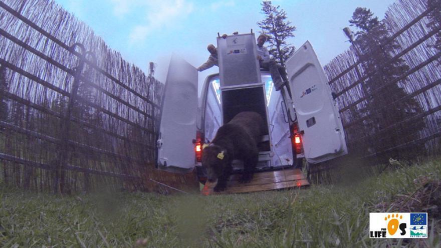 El oso Goiat, el día que lo liberaron en el Parque Natural del Alto Pirineo