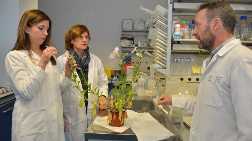 Una tesis de la UPCT identifica un gen que controla el crecimiento de hojas, flores, semillas y frutos