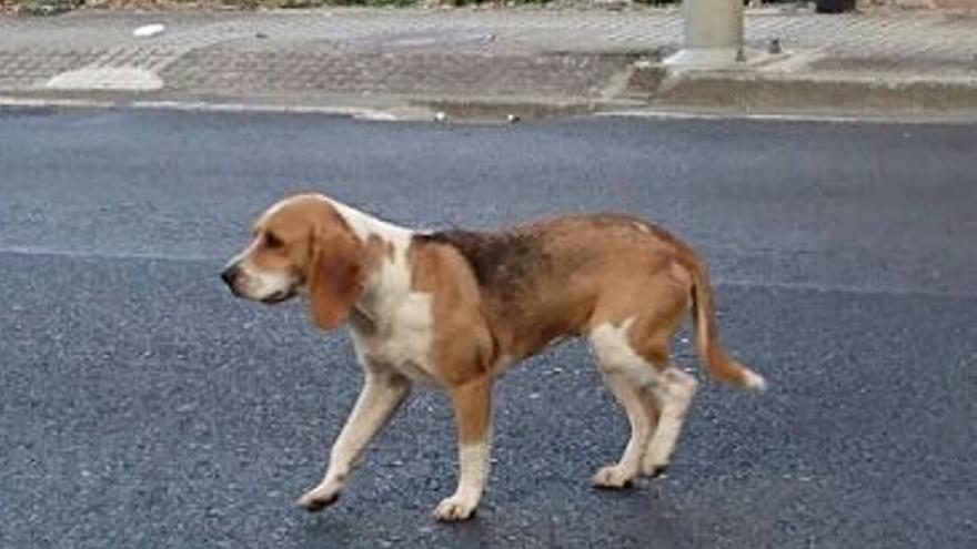 Un perro abandonado en el Camino de Santiago, rescatado por APACA (Asociación Protectora de Animais do Camino).