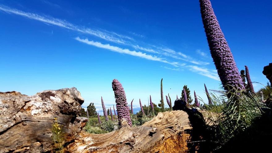Los tajinastes que  se pueden observar  en el cortafuego del Lomo de la Ciudad provienen de la gestión activa realizada por el Parque Nacional, concretamente de siembras llevadas a cabo en el año 2006.