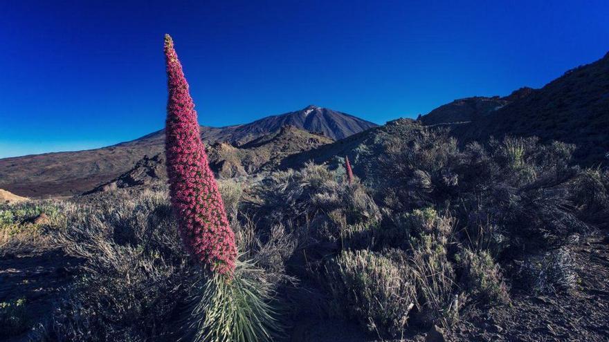 El Teide, con tajinastes rojos