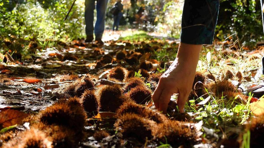 Sendero lleno de castañas en la Sierra de Aracena.