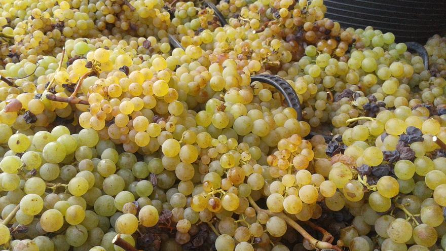 Recolección de uva del Consejo Regulador.