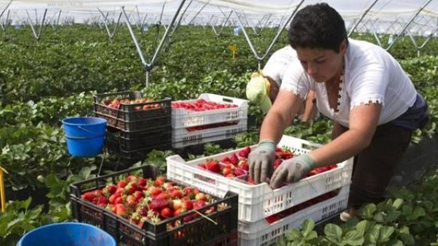 Una mujer recoge fresas en un campo de Huelva.