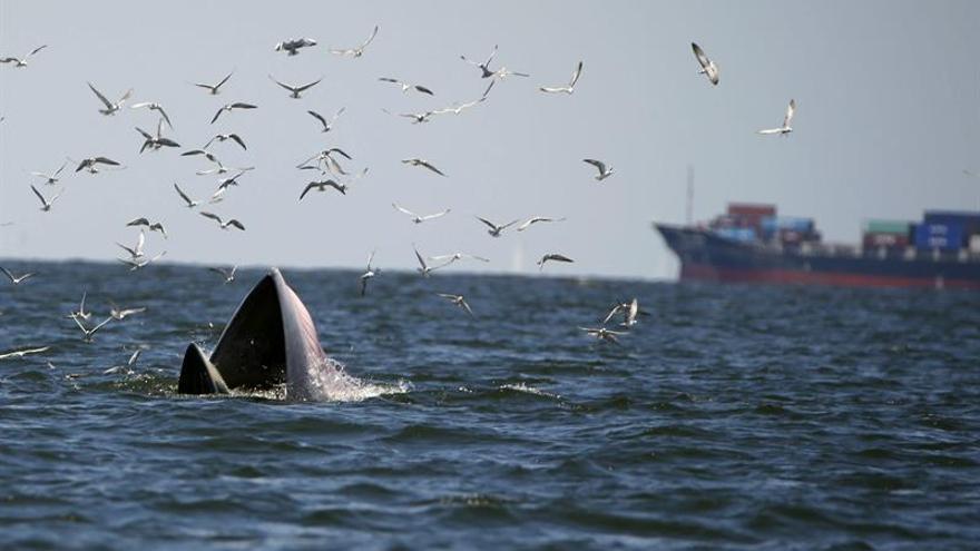 Cada año mueren 40 rorcuales en el Mediterráneo por tráfico marítimo según la WWF