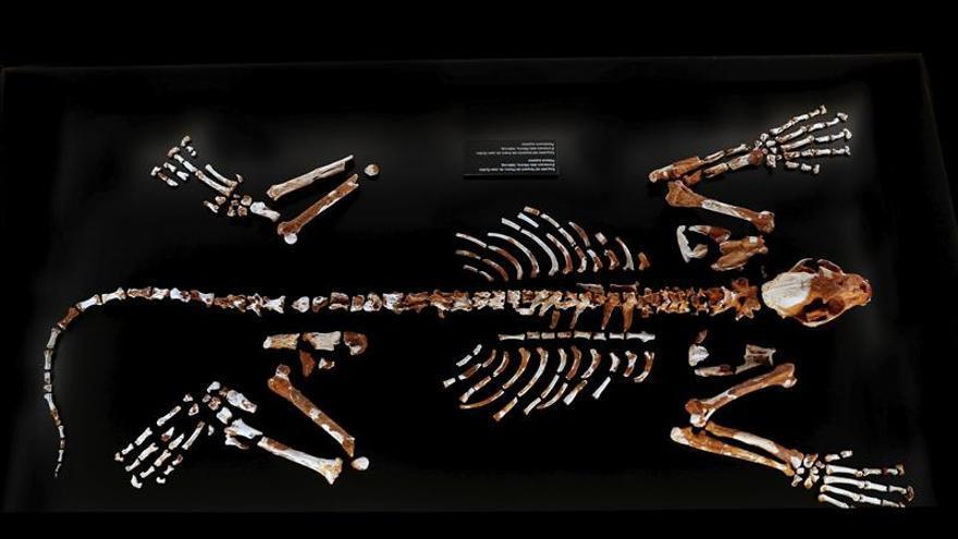 Valencia expone uno de los esqueletos más completos de leopardo prehistórico