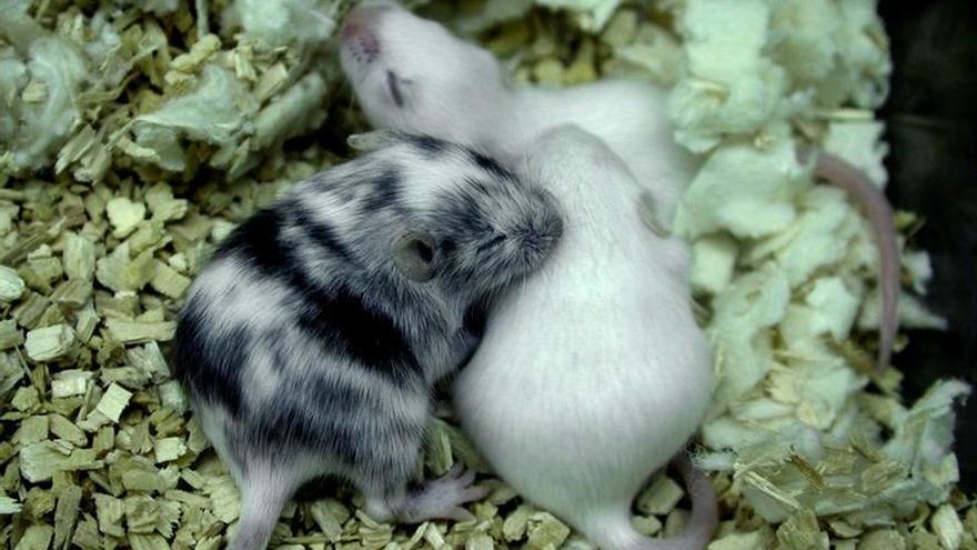 Curan la fibrosis pulmonar en ratones rejuveneciendo los tejidos afectados