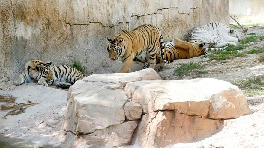 Terra Natura Benidorm espera esclarecer pronto cómo fue el ataque del tigre