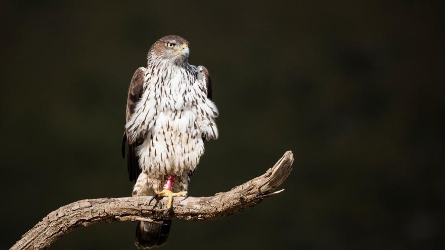 Mejoran las poblaciones de águilas, buitres y milanos en Baleares