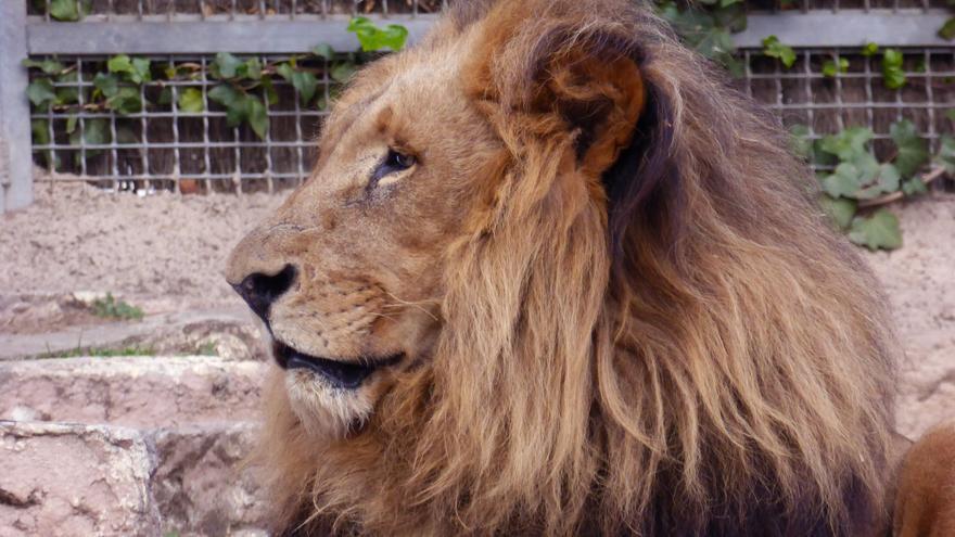 León cautivo