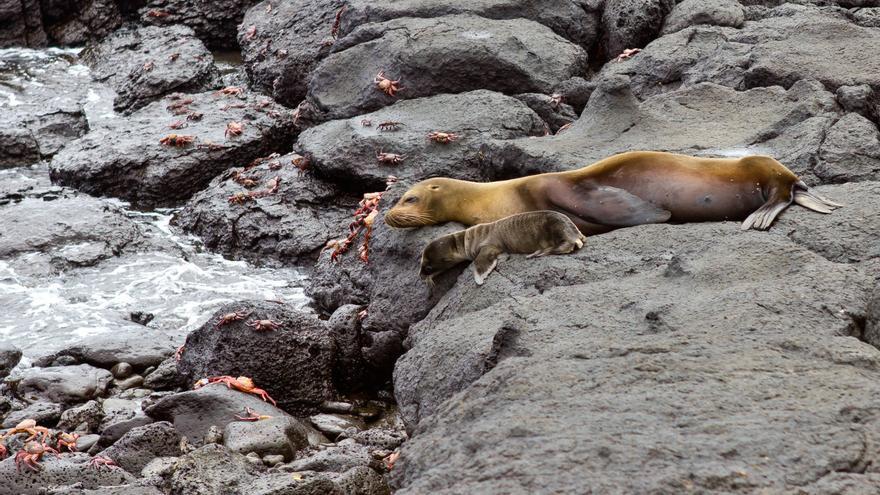 Una lobo marino con su cría de pocos meses en Isla Plazas Sur. VIAJAR AHORA