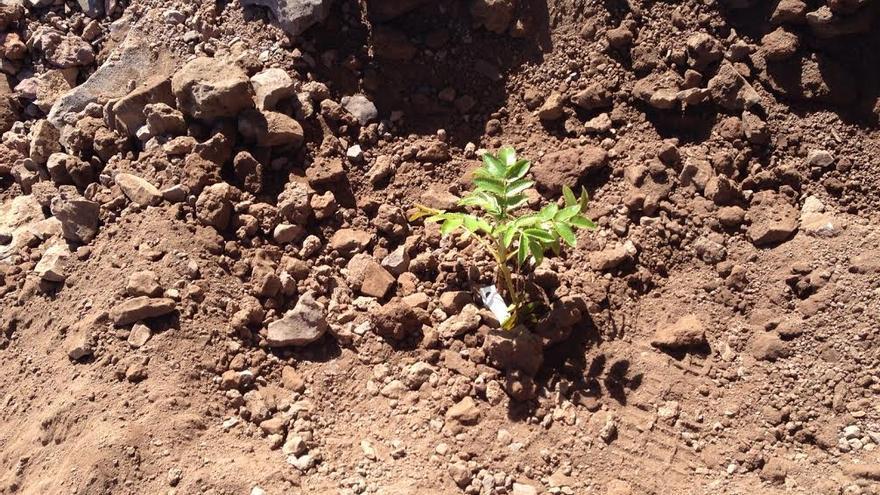 Un plantón de bencomia plantado este lunes en las cercanÍas de Pico de la Nieve. Foto: ÁNGEL PALOMARES.