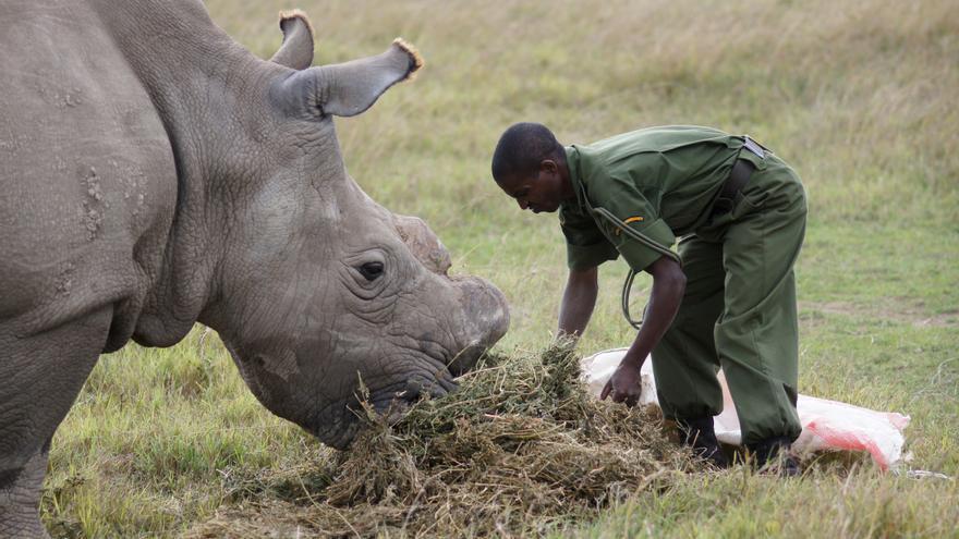 Un rinoceronte blanco norteño siendo alimentado. Foto:Tom Aveling