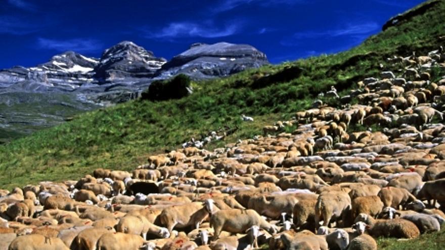 El pastoreo y la ganadería extensiva son, desde hace décadas, actividades productivas en declive en la montaña aragonesa