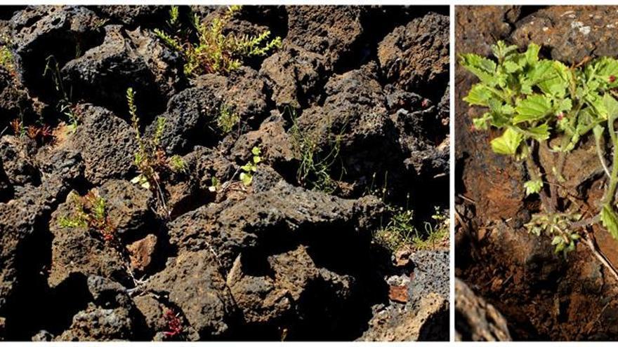 Ejemplares de 'Scropularia arguta' en La Isleta, en Las Palmas de Gran Canaria