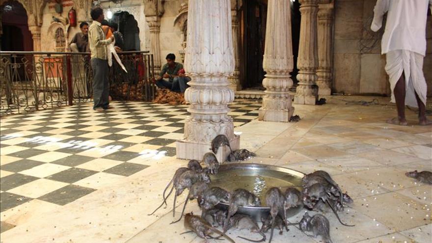 Las ratas destrozan mantas que iban a recibir las víctimas del terremoto en Nepal
