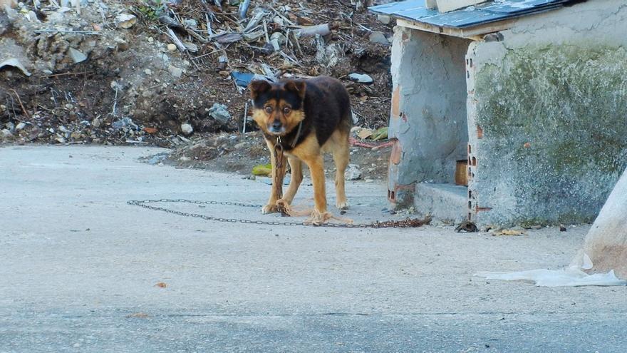El encadenamiento a perpetuidad, una forma habitual de maltrato severo. Foto: Observatorio Justicia y Defensa Animal