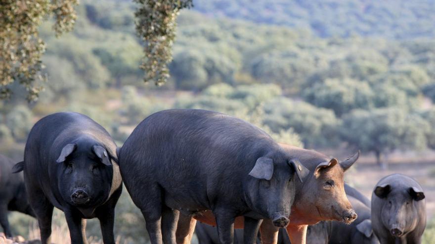 Comienza la montanera del ibérico, con mucha bellota y menos cerdos