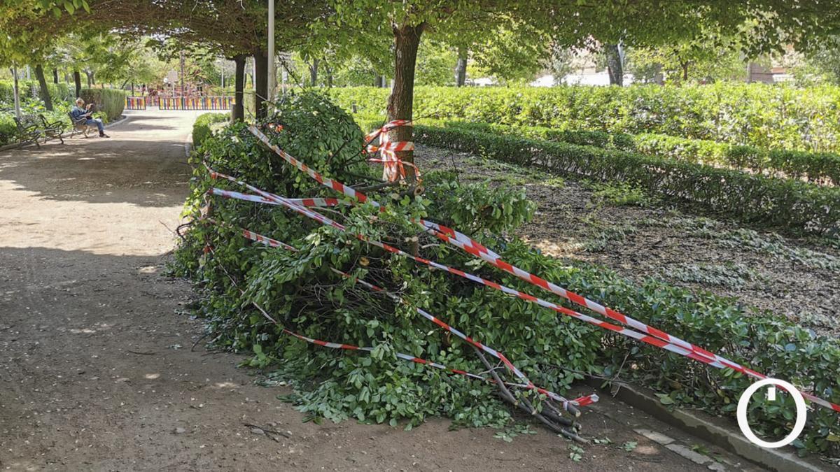 Ramas desgajadas del árbol con riesgo de caída en Jardines Escultor Fernández Márquez.