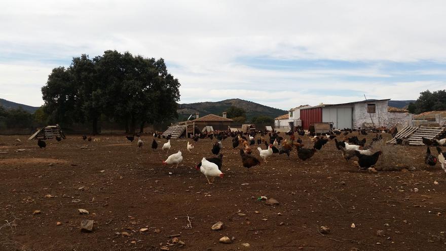 Granja de gallinas en Albacete. Foto de archivo