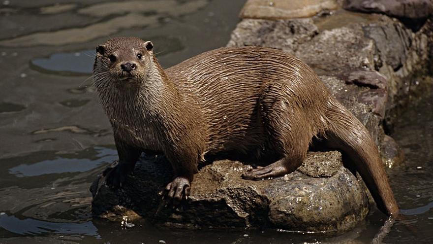 Ecologistas en Acción pide que se paralice la captura de nutrias cerca de la piscifactoría de Uña (Cuenca)