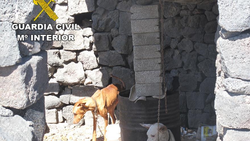 Un imputado en Lanzarote por el Seprona por un delito de maltrato a animales domésticos.