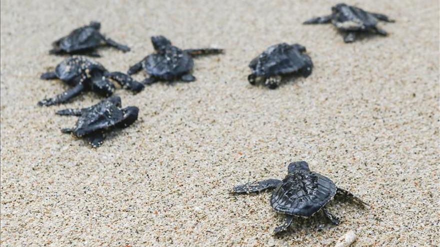 Un estudio revela que las tortugas marinas también sufren descompresión