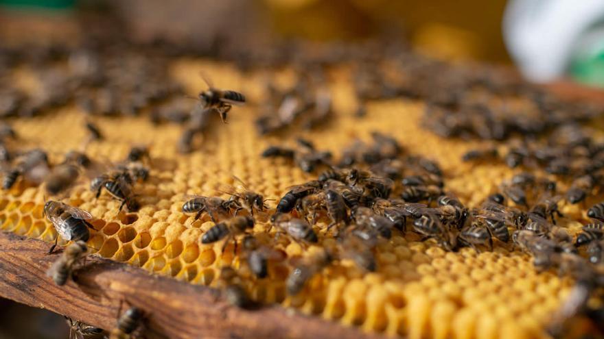 La mejor miel de Canarias se conocerá dentro de tres meses en la XXIV edición del Concurso Regional