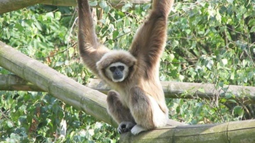 Mono, primate, gibón