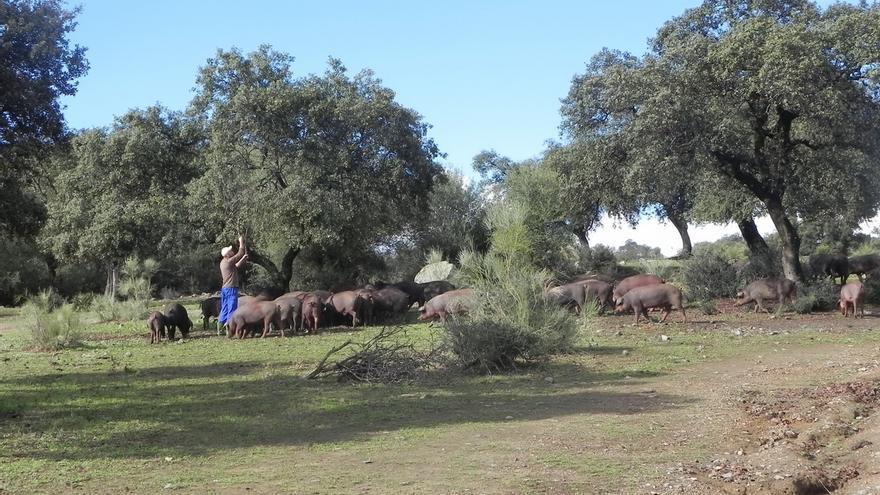 Asaja reúne a 300 ganaderos en Cazalla y valora la puesta en marcha del sistema Itaca para el cerdo ibérico