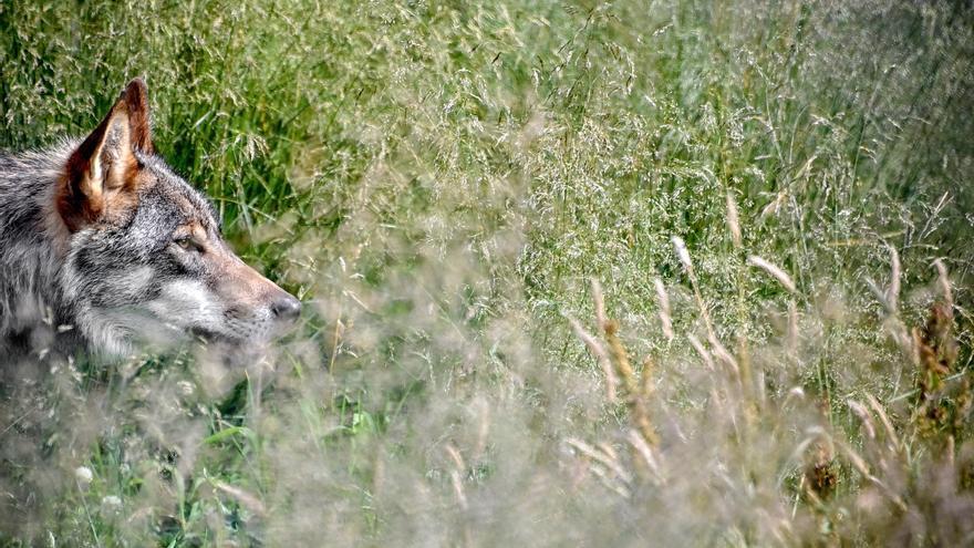 Los aullidos continúan en la Casa del Lobo en plena polémica sobre la especie