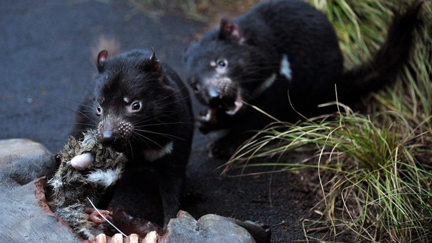 Detectan anticuerpos contra el cáncer que mata a los demonios de Tasmania