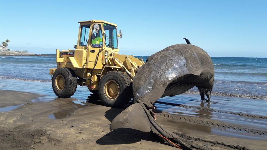 El cachalote, de gran peso y longitud, es llevado al camión para su transporte al complejo ambiental de Arico
