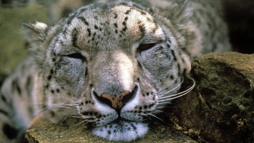 La caza furtiva y la destrucción del hábitat están aniquilando al leopardo de las nives. Actualmente, solo hay 4.000 ejemplares en todo el planeta.