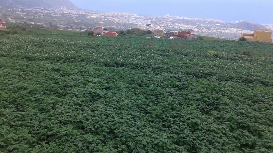 Parcela sembrada de papas de media estación en la zona de Benijos (La Orotava).