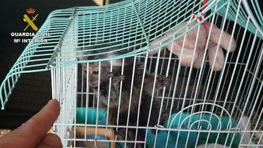 La Guardia Civil investiga a once personas por la venta ilegal de primates sin control sanitario