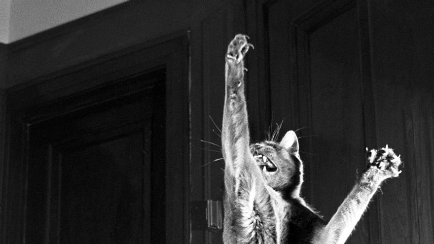 El enérgico gato llamado Loco que inició a Walter Chandoha en su pasión por los felinos