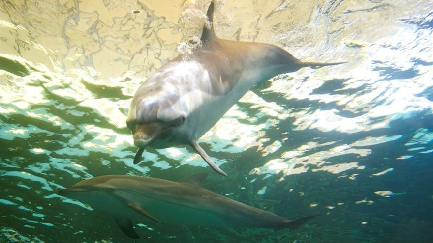 "Un filme japonés favorable a la caza de ballenas quiere replicar a ""The cove"" en EEUU"