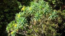 Un policía local santacrucero halla en Anaga ejemplares de una planta canaria en riesgo de extinción