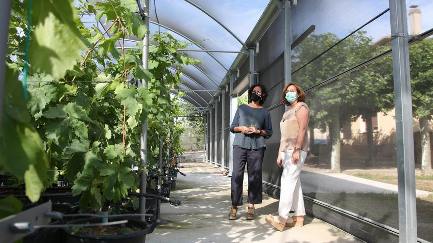 La consejera Itziar Gómez visita el invernadero de viñas antiguas, acompañada por Ana Sagüés, jefa de la Sección de Viticultura y Enología