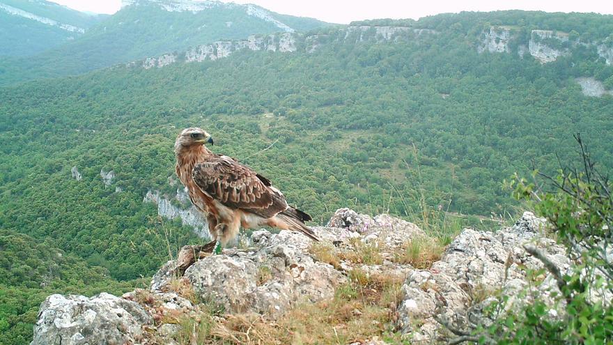 El águila perdicera Soila del proyecto Life Bonelli.